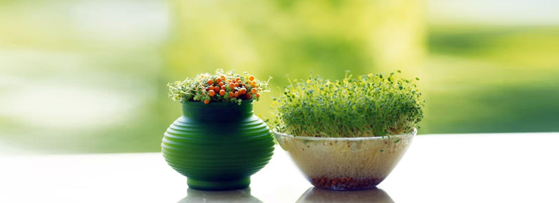 کاشت سبزه عید: انواع بذر سبزه عید، روش و زمان کاشت + نکات مهم