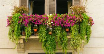 چه گیاهانی برای تراس مناسب است ؟   گیاهان همیشه سبز برای بالکن